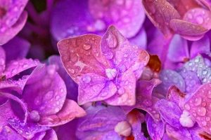 caracterisitcas de la flor de lilo
