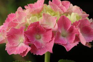 significado de la hortensia
