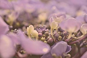 como plantar una hortensia