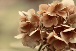 Usos de la hortensia rosada