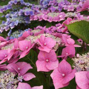 usos de la hortensia lila