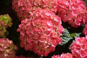 hortensia roja