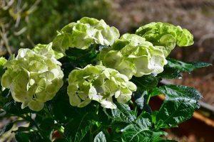 hortensia de color verde