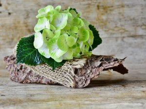 hortensia verde