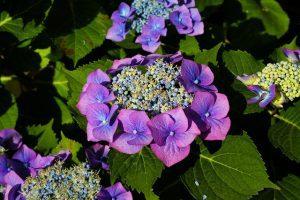 la planta de la hortensia