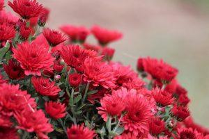 Crisantemo Winnings Red