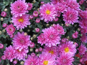cual es el origen del crisantemo