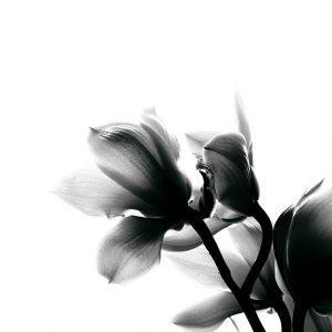 como cuidar una Orquídea Negra