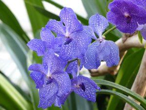 como cuidar una Orquídea Vanda