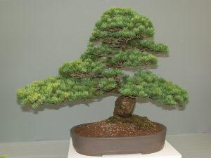 caracteristicas bonsai pino