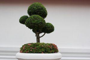 podar bonsai encina