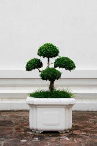 bonsai de roble