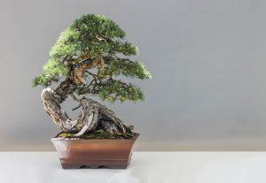 la popularidad del bonsai