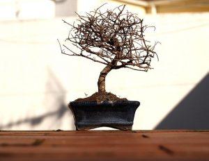 podar bonsai tanuki