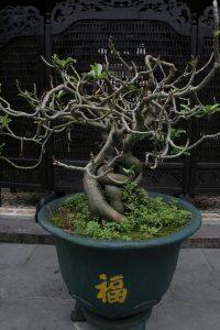 bonsai del olmo