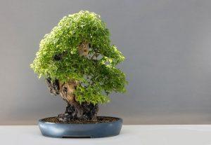 tipos de bonsai arce