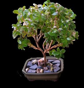 caracteristicas del bonsai ficus