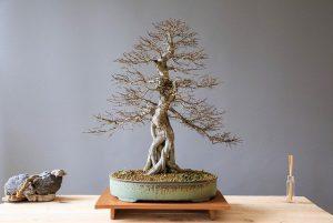 cuidados del bonsai olmo