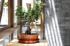 caracteristicas del bonsai de higuera