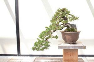 podar un bonsai manzano