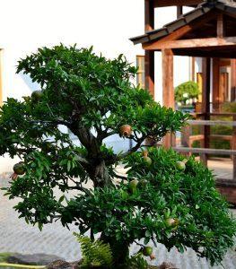 cuidados del bonsai de granado