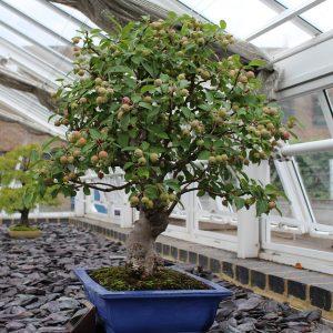 podar un bonsai