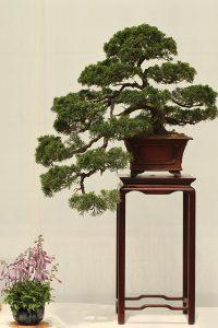 podar bonsai de romero