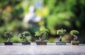 podar bonsai de roble