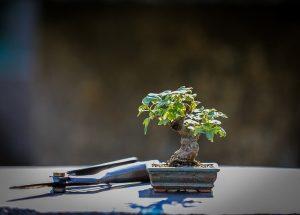 caracteristicas del bonsai limonero