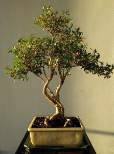 caracteristicas bonsai granado