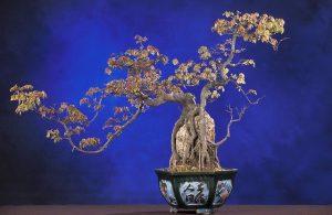 podar bonsai del olmo
