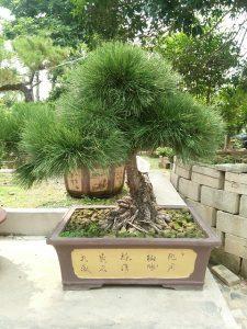 cuidados del bonsai de pino