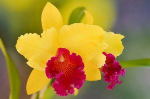 caracterisitcas Orquídea Cattleya