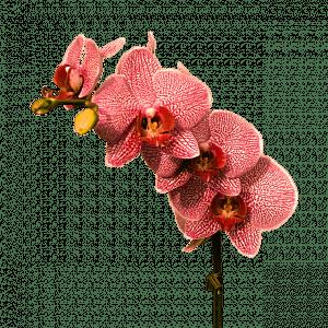 caracterisitcas Orquídea Roja