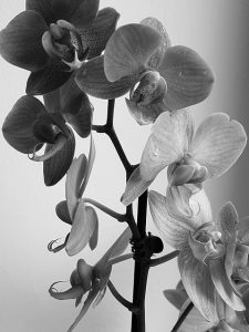 caracterisitcas de la Orquídea Negra
