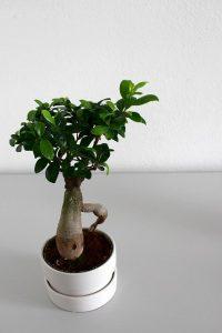 bonsai tanuki