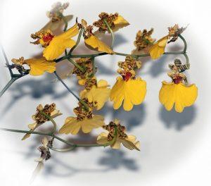 cuidados especiales de la Orquídea Oncidium