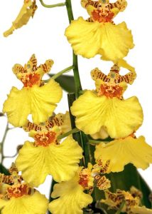 caracterisitcas Orquidea Oncidium