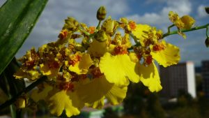 Orquidea Oncidium