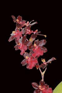 cuidar Orquídea Cambria