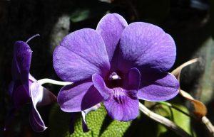 cuidados de la Orquídea Dendrobium
