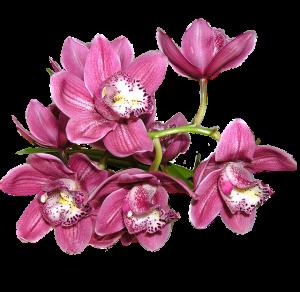 caracterisitcas de la Orquídea Zygopetalum