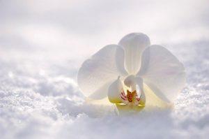 caracteristicas Orquídea Blanca
