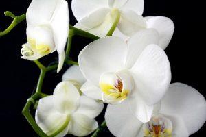 como cuidar una Orquídea Blanca