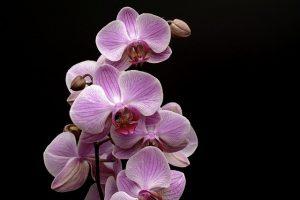 cuidados de la Orquidea Epidendrum