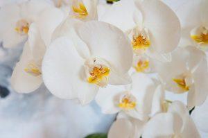 como cuidar una Orquídea Phalaenopsis