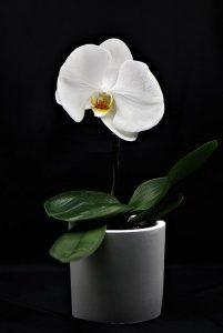 semillas de orquidea