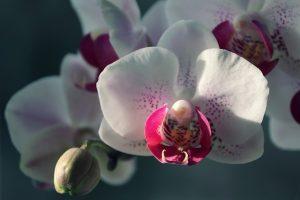 como regar una orquidea