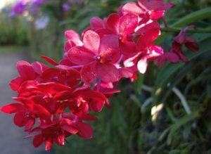 como cuidar una Orquídea Roja