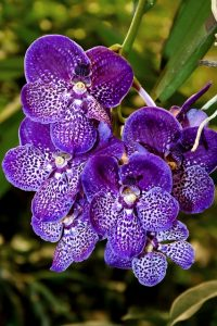 cuidados de la Orquídea Vanda